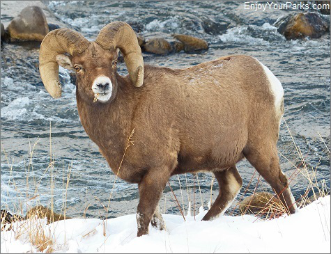 Bighorn Sheep along the Gallatin River