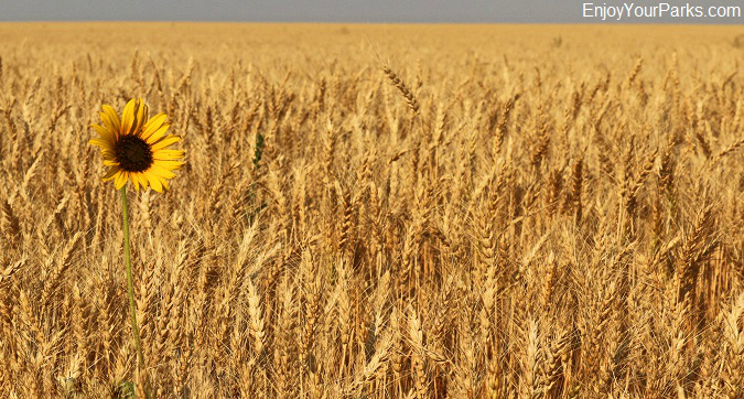 Wheat field near Fort Benton Montana