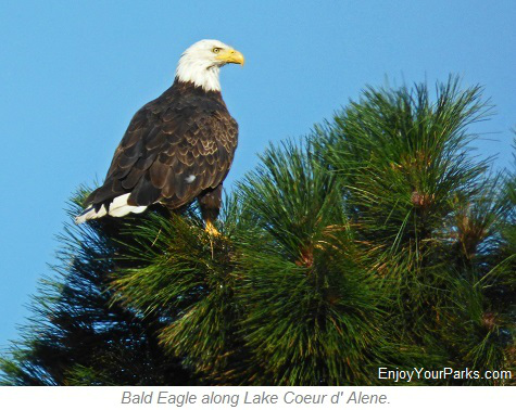 Bald Eagle along Lake Coeur d Alene, Idaho