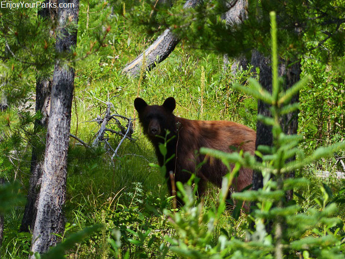 Black bear along the Autumn Creek Trail, Glacier National Park