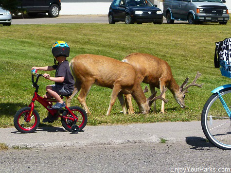 Mule deer, Waterton Park Townsite, Waterton Lakes National Park