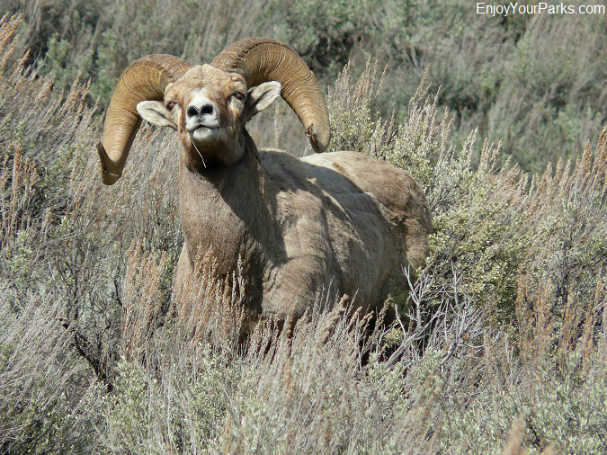 Bighorn Sheep, Bighorn Canyon National Recreation Area