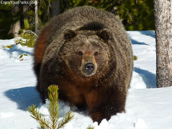 Grizzly bear, Winter in Yellowstone Park
