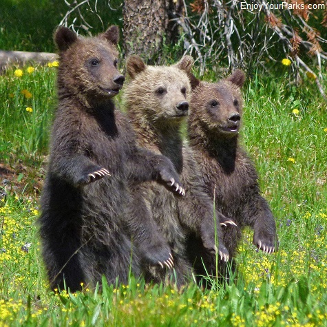 Grizzly bear cubs, Grand Teton National Park