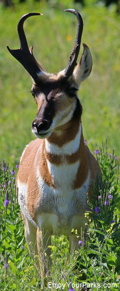 Pronghorn, Custer State Park, South Dakota