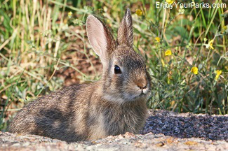 Cottontail rabit, Vedauwoo Recreation Area, Wyoming