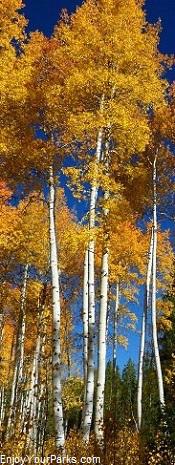 Wyoming Aspens in Autumn