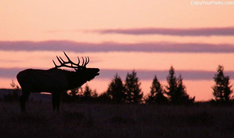 Bugling elk, Charles M. Russell National Wildlife Refuge, Montana