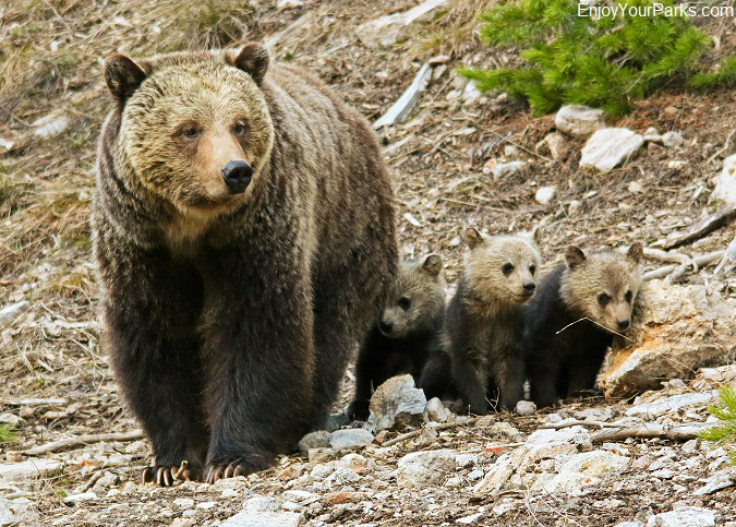 Grizzly bears, Yellowstone National Park, Wyoming