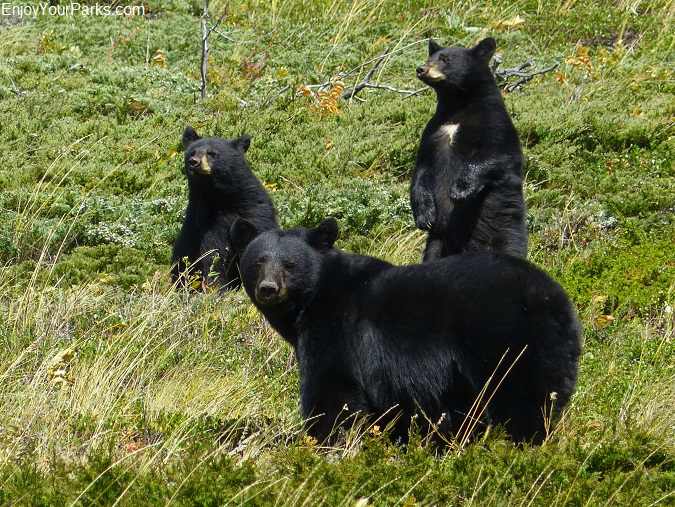 Black bears, Red Rock Parkway, Waterton Lakes National Park