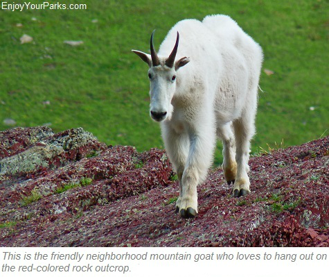 Mountain Goat, Cracker Lake, Glacier Park