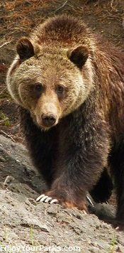 Wyoming Grizzly Bear