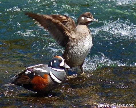 Harlequin Ducks, LeHardy Rapids, Hayden Valley, Yellowstone National Park
