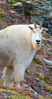 Mountain Goat, Glacier Park
