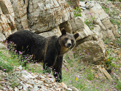 Grizzly Bear, Apikuni Falls Trail, Glacier National Park