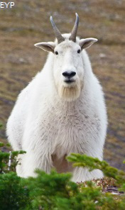Mountain goat, Waterton Lakes National Park