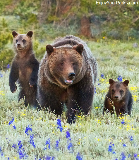 Grizzly bear with cubs near Jackson Lake Lodge, Grand Teton National Park