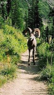 Bighorn Sheep on Highline Trail, Glacier Park