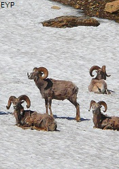 Bighorn Sheep, Grinnell Glacier Trail, Glacier National Park