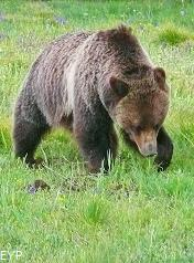 Grizzly Bear, Grand Teton National Park
