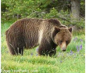 Grizzly bear, Oxbow Bend, Grand Teton National Park