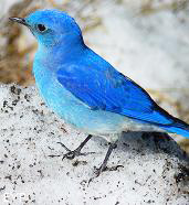 Mountain Blue Bird, Grand Canyon of the Yellowstone, Yellowstone National Park