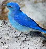 Mountain Blue Bird, Yellowstone National Park