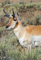 Pronghorn Antelope, Highway 89 Turnouts and Overlooks, Grand Teton National Park