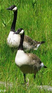 Canada Geese, Hayden Valley, Yellowstone National Park