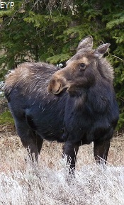 Cow moose, Cooke City Montana, Yellowstone National Park
