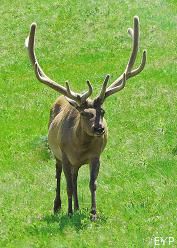 Bull elk, Madison Junction Area, Yellowstone National Park