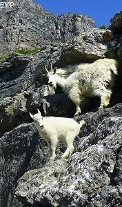 Mountain Goats, Highline Trail, Glacier National Park