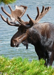 Bull Moose, Many Glacier Boat Tour, Glacier National Park