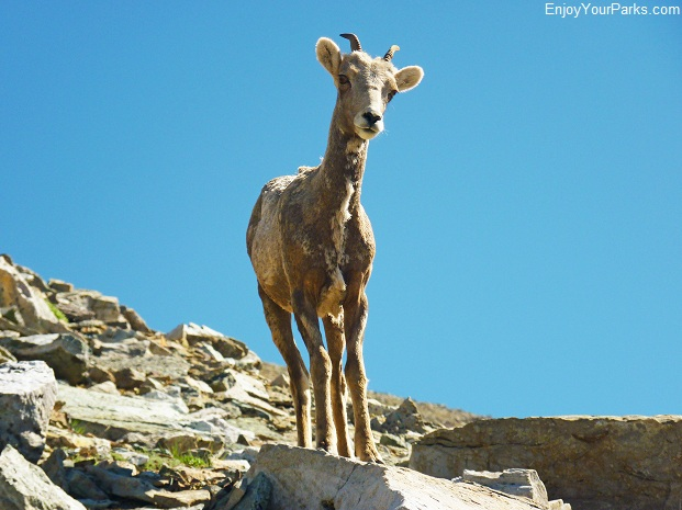 Bighorn Sheep Ewe, Allen Mountain, Glacier National Park
