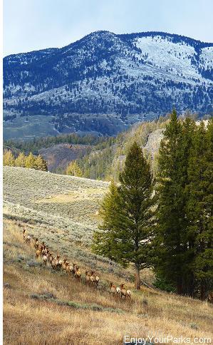 Elk herd, Tower / Roosevelt Area, Yellowstone National Park