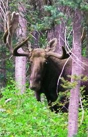 Moose, Upper Two Medicine Lake, Glacier National Park