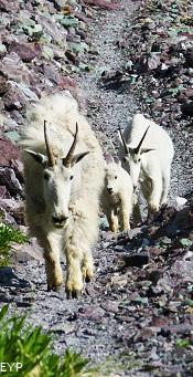 Mountain Goats, Sperry Glacier Trail, Lake McDonald Area, Glacier National Park
