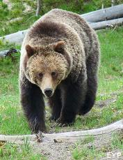 Grizzly bear, Norris Junction Area, Yellowstone National Park