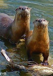 River otters, Hayden Valley, Yellowstone National Park