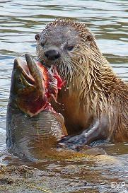 River Otter with Yellowstone Cutthroat Trout, Hayden Valley, Yellowstone National Park