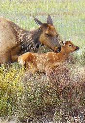 Cow elk with calf, Mammoth Hot Springs, Yellowstone National Park