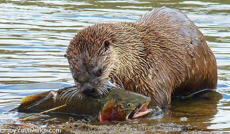 River Otter and Yellowstone Cutthroat Trout, Hayden Valley, Yellowstone National Park