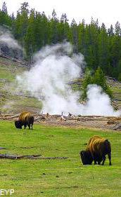 Buffalo, Hayden Valley, Yellowstone National Park