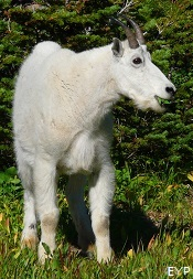 Mountain Goat, Granite Park Chalet, Glacier National Park
