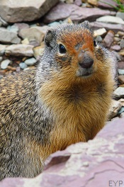 Columbian Ground Squirrel, Granite Park Chalet, Glacier National Park