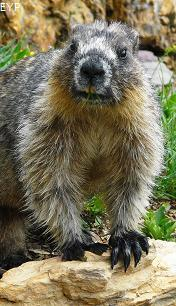 Marmot, Highline Trail, Glacier National Park