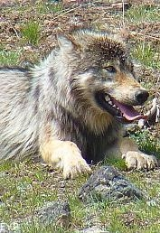 Gray Wolf, Jackson Lake Lodge, Grand Teton National Park