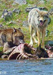 Wolves along the Madison River, Madison Junction Area, Yellowstone National Park