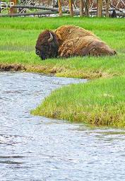 Buffalo, Firehole River, Yellowstone National Park