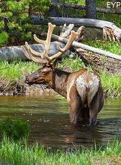 Bull elk in Madison River, Madison Junction Area, Yellowstone National Park